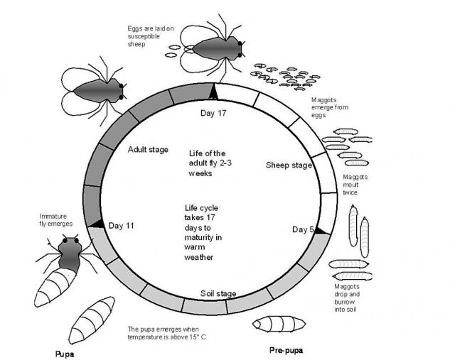 Adult flies usually live for approximately two to three weeks with eggs generally hatching into larvae in 12-24 hours. The life cycle takes 17 days to maturity in warm weather.