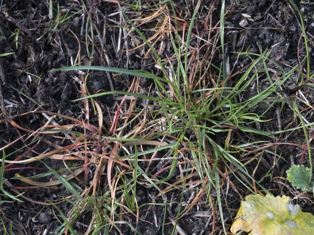 Live annual ryegrass plants among dead ones after spraying with glyphosate. The live ones show resistance to glyphosate
