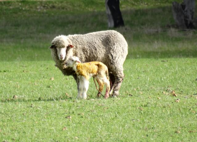 A Merino ewe with her new born lamb.