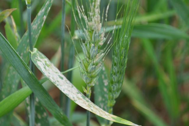 image of powdery mildew on wheat