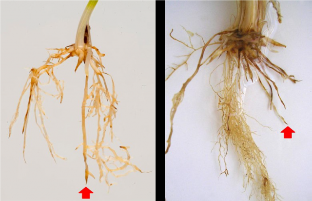 Figure 2(A) and (B). Root symptoms showing shortened roots ending in spear tips and brown lesions. (© DPIRD).