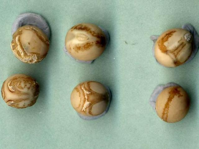 Pea seed-borne mosaic virus induced seed coat defects in variety Kaspa. Note the necrotic rings and line patterns (sometimes referred to as 'tennis ball' symptoms).