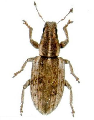 Sitona weevil adult