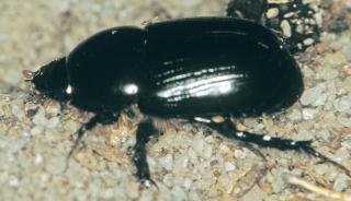 identifying soil beetle pests agriculture  food