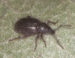 Apple weevil adult