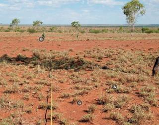 Photograph of buffel grass pasture in fair condition
