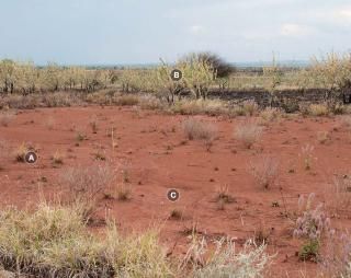 Photograph of buffel grass pasture in poor condition
