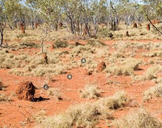 Photograph of curly spinifex plain pasture in fair condition