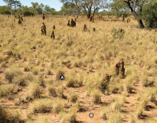 Photograph of curly spinifex plain pasture in good condition