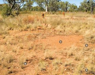 Photograph of curly spinifex plain pasture in poor condition