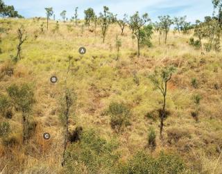 Photograph of curly spinifex–annual sorghum hill pasture in good condition