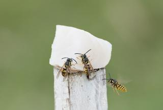 European wasps on fish on tracing pole