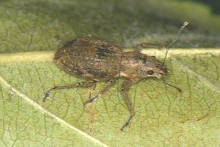 Fuller's rose weevil adult