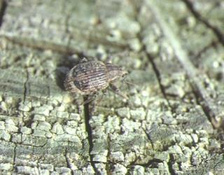 Garden weevil adult