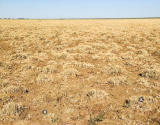 Photograph of Mitchell grass alluvial plain pasture in good condition (high utilisation)