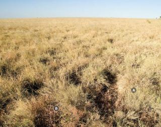 Photograph of Mitchell grass alluvial plain pasture in good condition with low utilisation