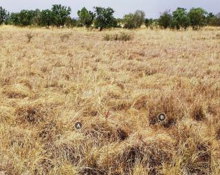 Photograph of Mitchell grass upland pasture­ good condition