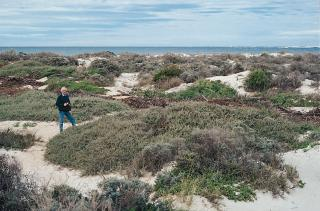 Photograph of grey saltbush growing on coastal dunes