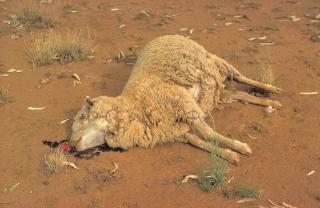 Ewe killed by wild dogs on the ground with blood near head.