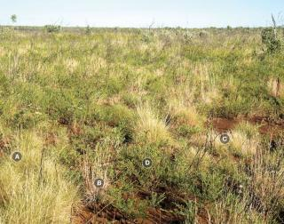 Photograph of soft spinifex pasture in fair condition