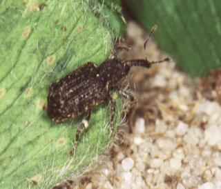 Spotted vegetable weevil adult