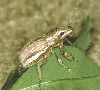 Whitefringed weevil adult