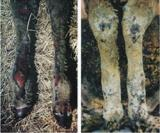 Photograph of burnt sheep legs with oedema and deep tissue damage 12-24 hours after fire.