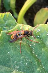 Common paper wasp, Polistes humilis