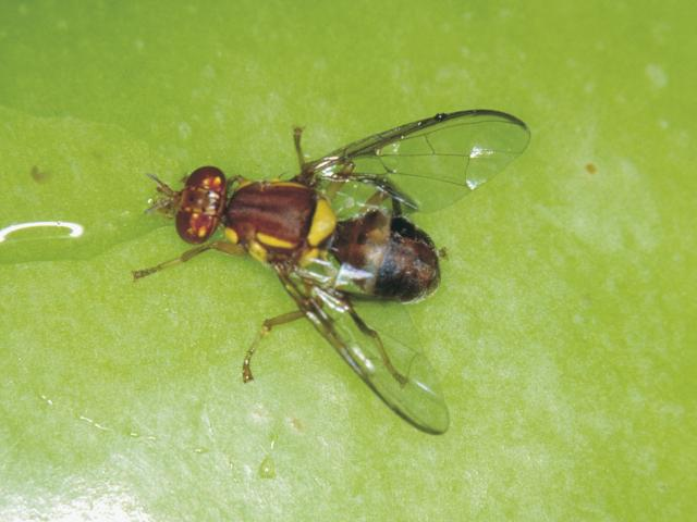 Queensland fruit fly