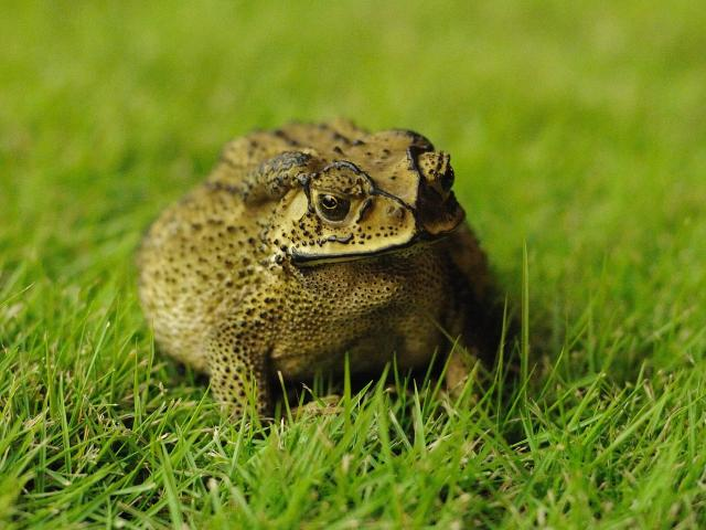 Asian black-spined toad