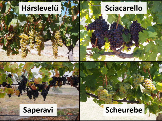 Photos of Harslevelu, Sciacarello, Saperavi and Scheurebe fruit on vines.