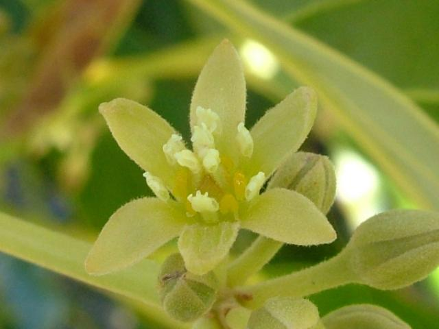 close up of avocado flower showing the stamens standing upright, surrounding the stigma in two whirls, also notice the slit openings in the anthers