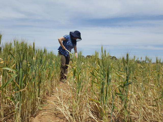 Sampling wheat crop for crown rot at Merredin in October 2016