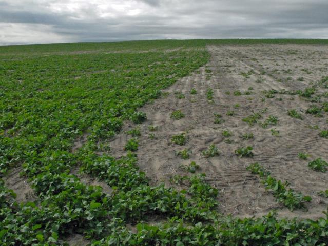 Good canola establishment after rain on left compared with very poor establishment when dry sown on right.