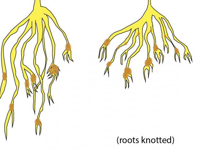 Roots affected by cereal cyst nematode