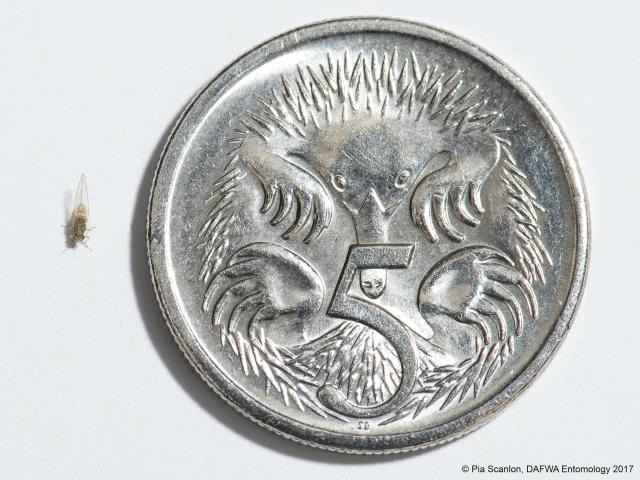 Size of Bactericera cockerelli in relation to a 5 cent piece