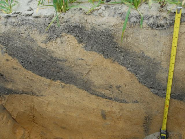 Image shows a deep yellow sand soil profile that has been inverted with a modified one-way plough, the topsoil is laid down in quite narrow lenses that angle from the surface to about 35cm into the soil profile