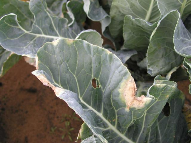 Black rot infection on cauliflower leaf, causing light brown to yellow V-shaped  lesions, starting from the leaf margin.