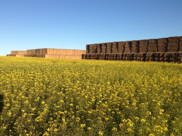 A canola paddock with stacks of square hay bales in the background.