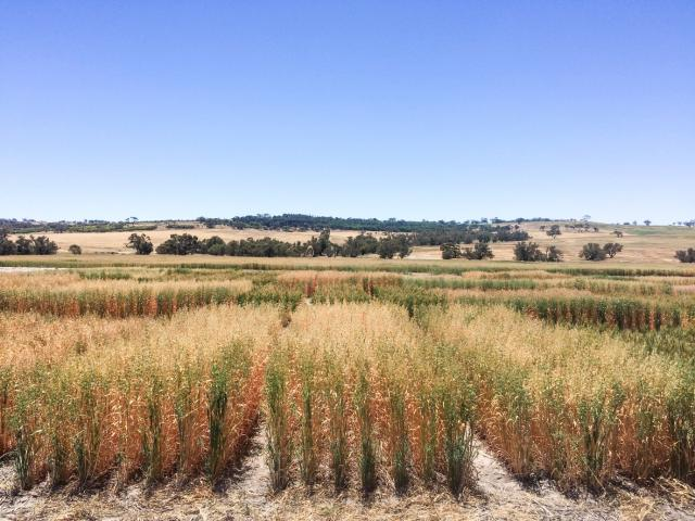 Preliminary 2016 trial results from a trial site at Pingelly (pictured) and another at Merredin suggest there is variability in the tolerance among varieties to the fungal disease Fusarium crown rot. The Grains Flagship research will continue this year.
