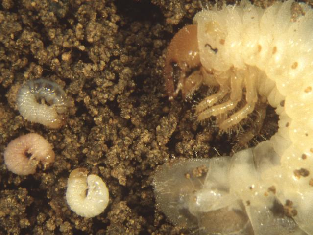 African black beetle and lesser pasture cockchafer larvae have similar features but lesser pasture cockchafer are much smaller
