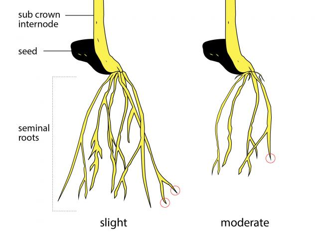 Roots affected by Rhizoctonia root rot