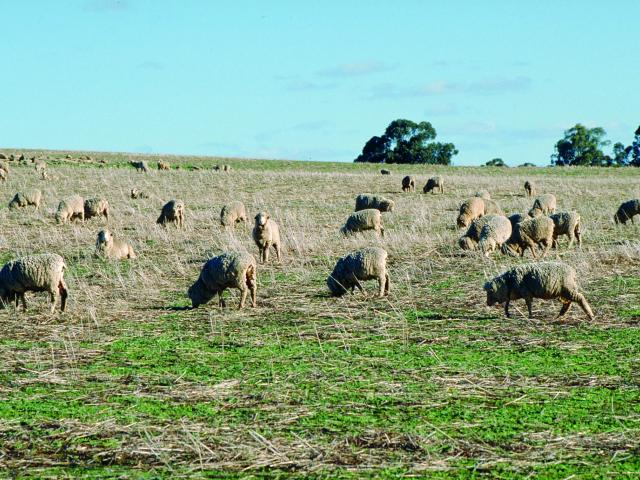 DAFWA has reminded sheep producers to consider the impact of recent summer rainfall on livestock husbandry requirements.