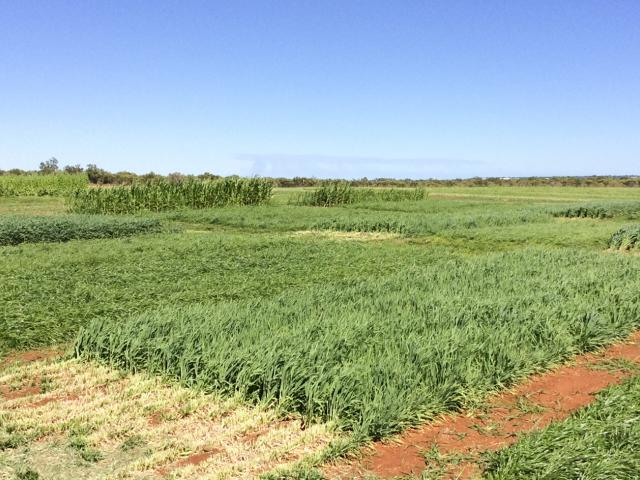 Irrigators, pastoralists, agribusinesses and consultants are invited to a mosaic agriculture field walk in Broome to discuss DPIRD pasture and fodder trials for beef production.