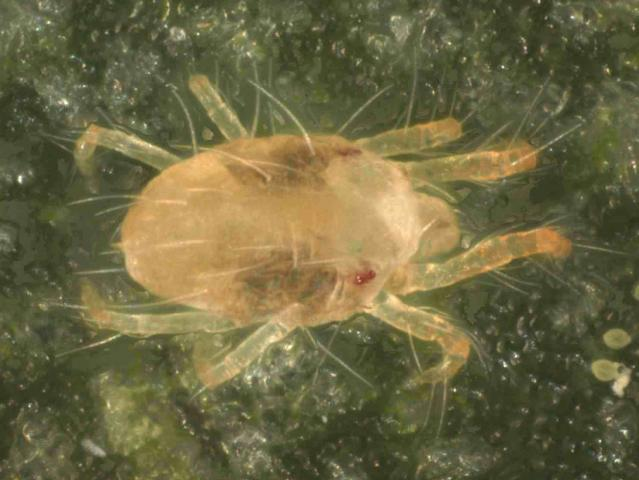 Dorsal view of a two-spotted spider mite (Tetranychus urticae) with ingested food visible in the stomach sacks