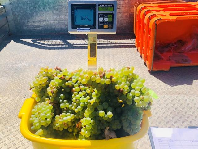 Weighing Chardonnay bunches