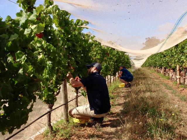Project team picking Chardonnay