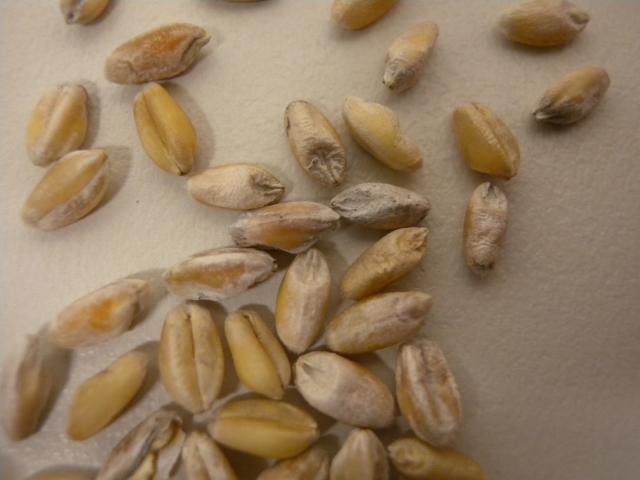 Wheat grains affected by white grain disorder
