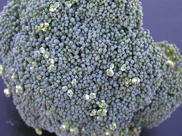 Broccoli head with distorted florets and white spores due to infection by the fungus Albugo candida