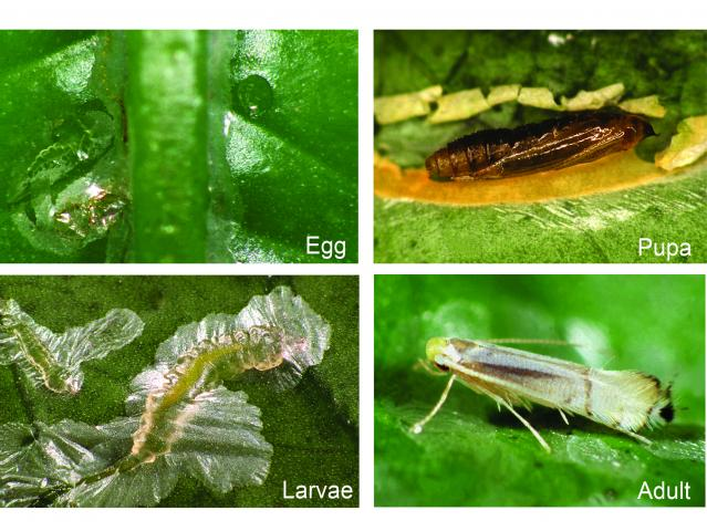 Citrus leafminer life cycle includes egg, pupa, larva to adult